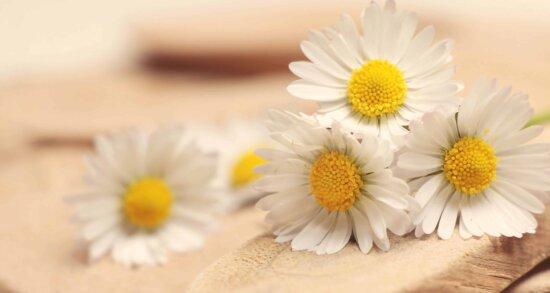 încă de viaţă, flori, natura, vara, flora, musetel, planta, floare