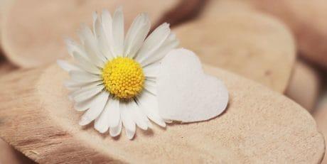 ainda vida, daisy, madeira, natureza, flor, planta, flor, jardim, pétala, flor, flora
