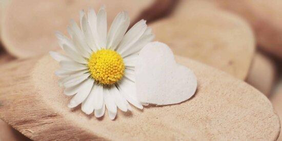 încă de viaţă, daisy, lemn, natura, flori, planta, floare, gradina, petale, bloom, flora