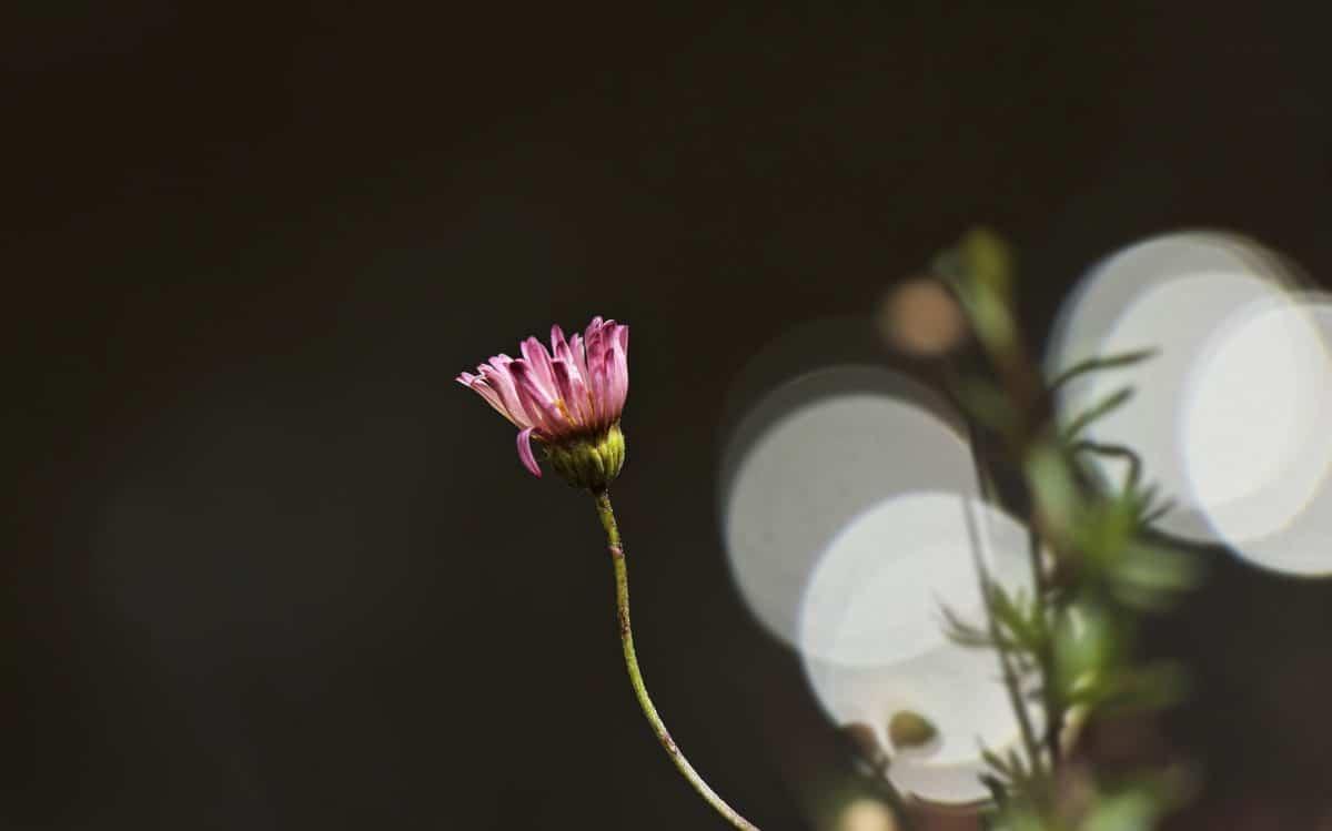 daisy rose, plante, vert, flore, fleur, pétale