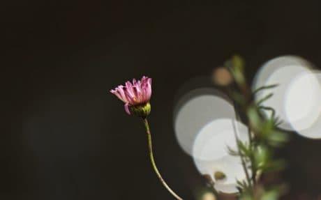 flor Margarida Rosa, planta, verde, flora, pétala