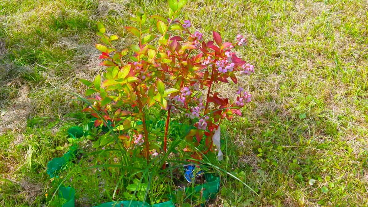 灌木, 花, 自然, 绿色草, 叶子, 植物群, 夏天, 庭院, 领域