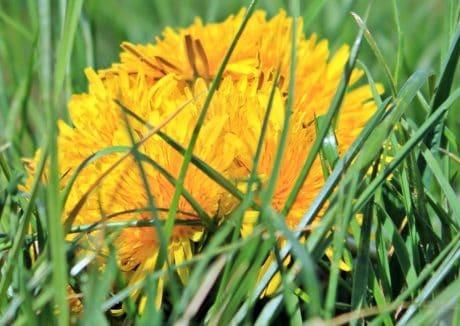 สมุนไพร ดอกแดนดิไล พืช ดอกไม้ ดอก หญ้า
