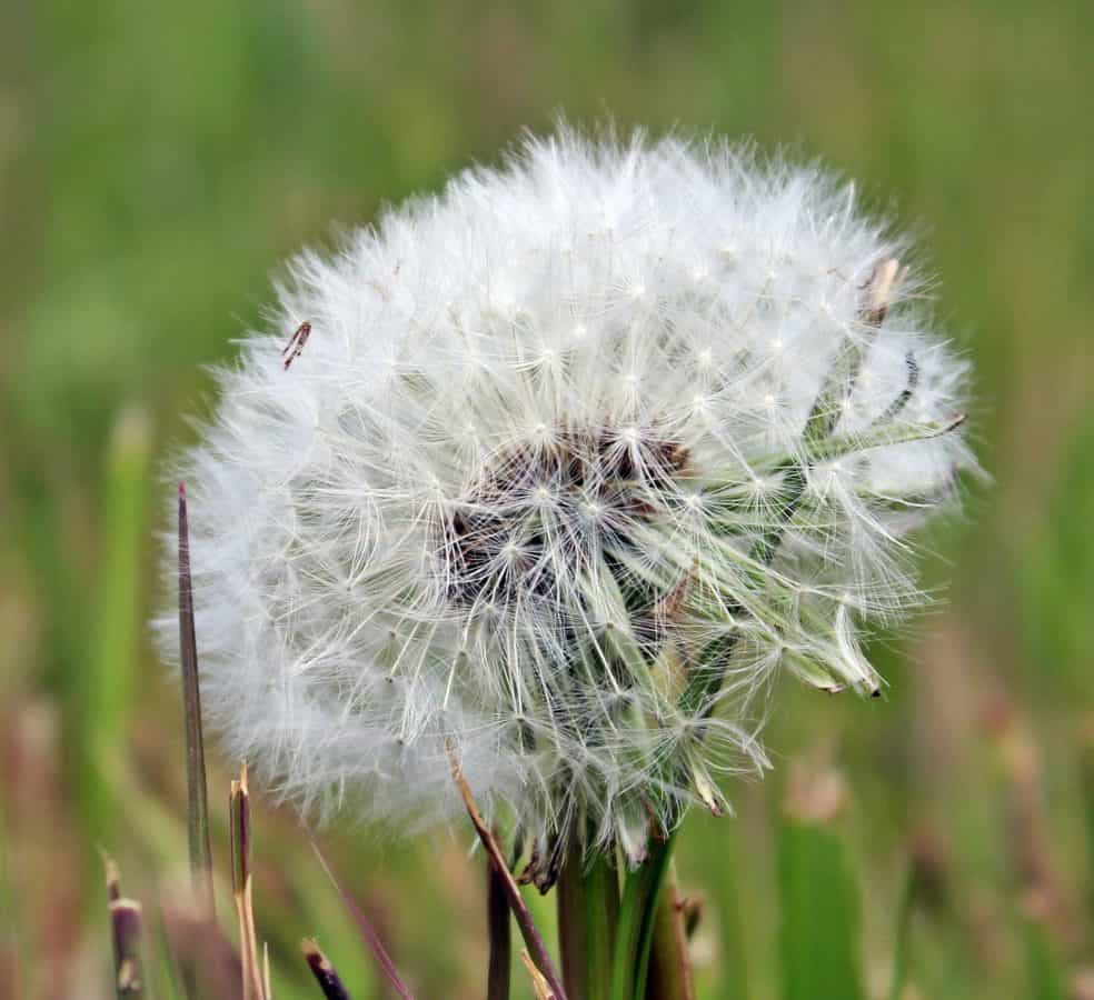 dandelion, herb, plant, flower, flora, green grass, meadow