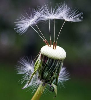 dandelion, seeds, plant, flora, meadow, green