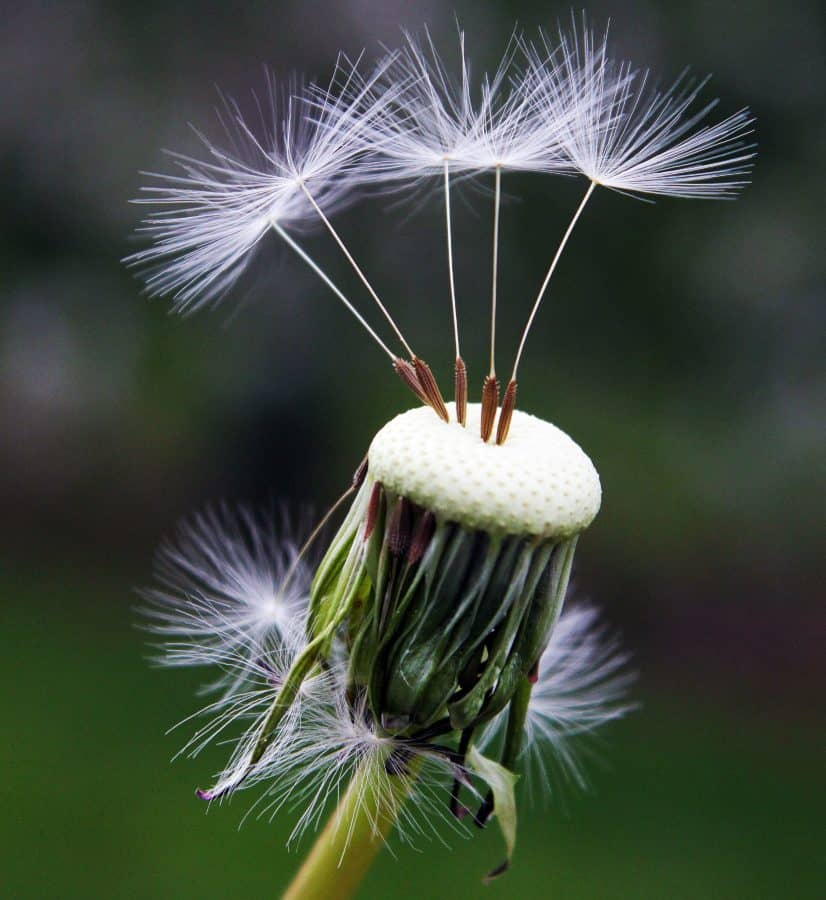 dandelion, seeds, plant, flora, meadow, green
