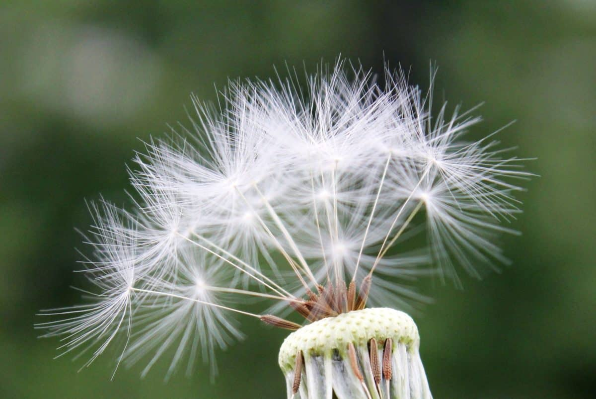 dandelion, detail, seed, outdoor, daylight, summer time, plant, flora