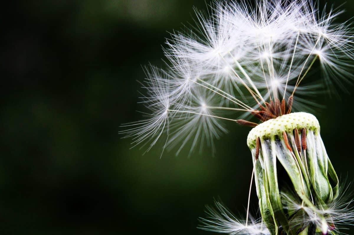 глухарче, на открито, лятно, летни, семена, ливада, завод, флора