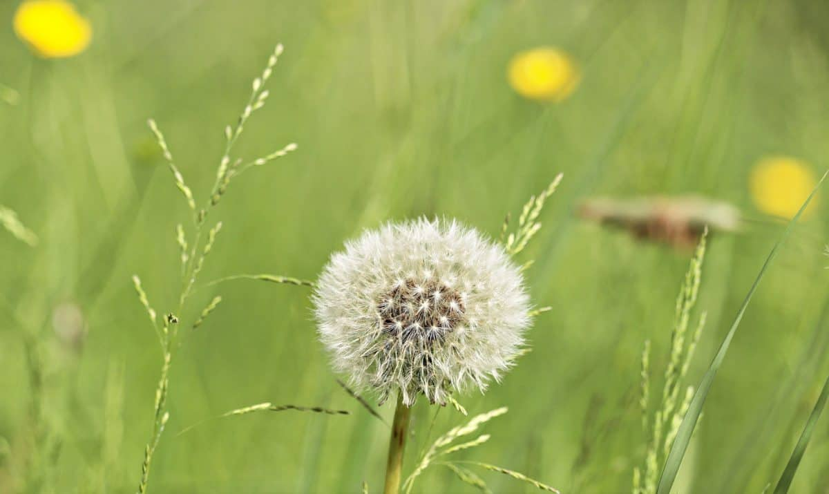 grass, dandelion, meadow, seed, spring, plant