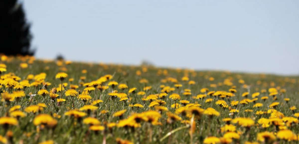 grass, outdoor, dandelion, daylight, blue sky, meadow, plant, field, meadow