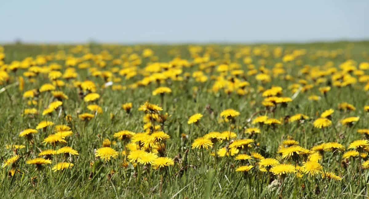 grass, dandelion, blue sky, daylight, plant, field, meadow