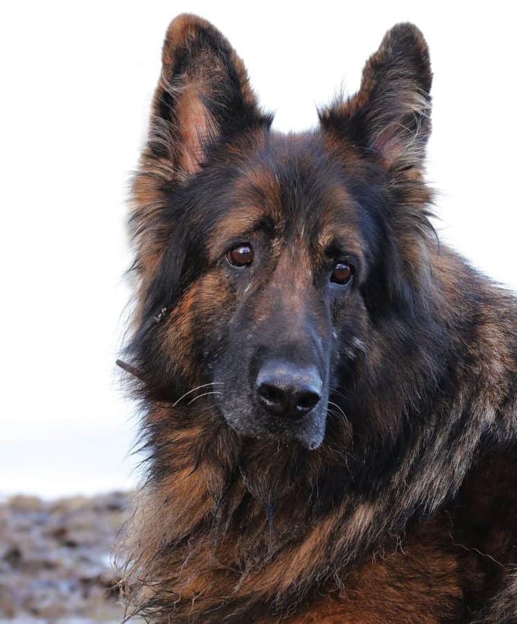 zvířecí mazlíček, roztomilý, ovčák, pes, portrét, pastýř, zvíře, Psí