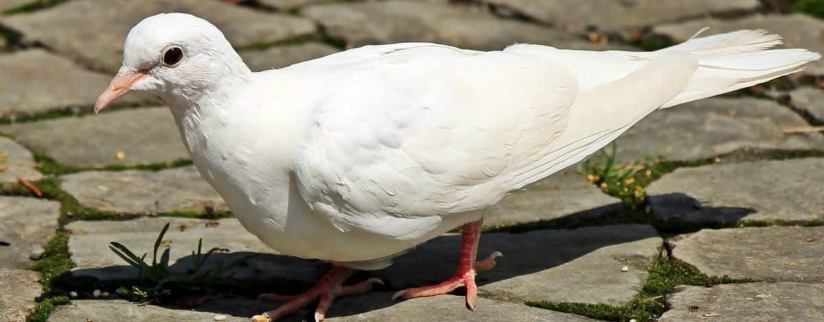 pluma, animais selvagens, pombo branco, pavimento, pássaro, bico, natureza, animal