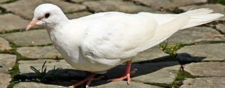 feather, wildlife, white pigeon, pavement, bird, beak, nature, animal