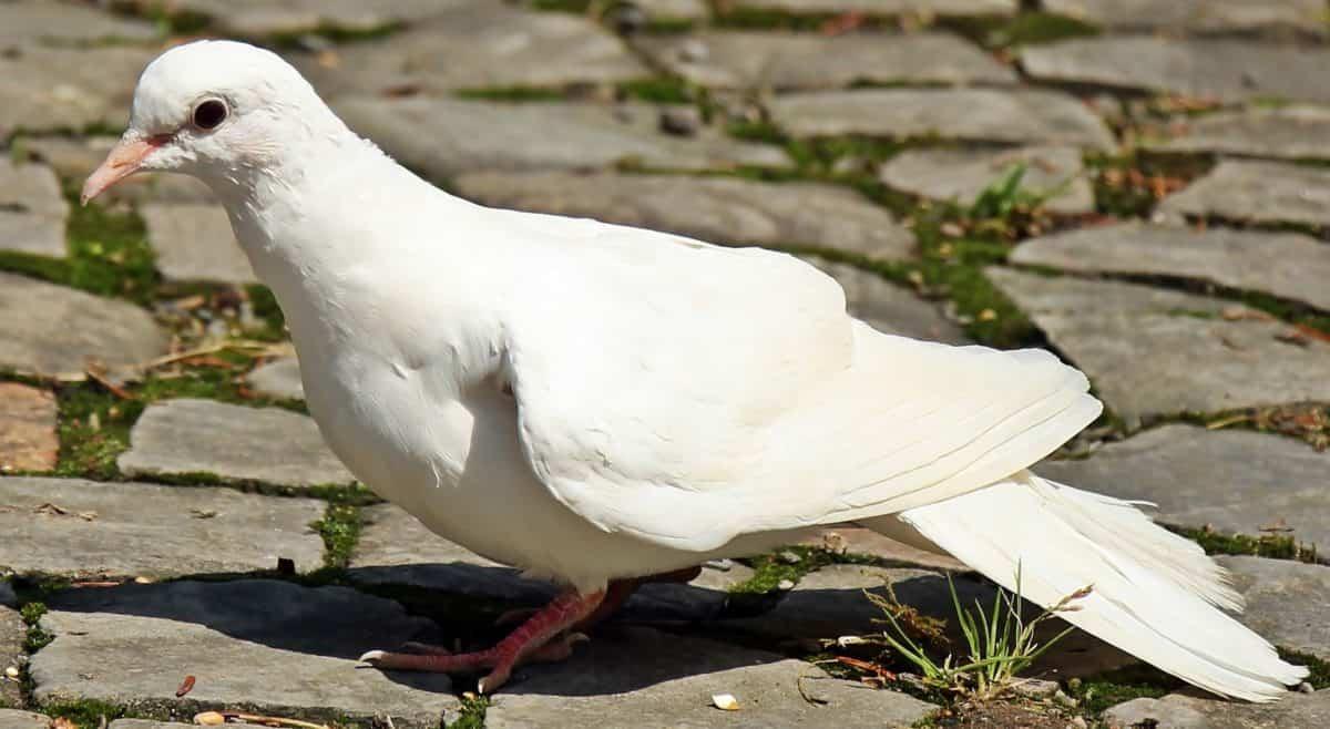 állat, fehér galamb, vadon élő állatok, természet, állat, madár, toll, csőr