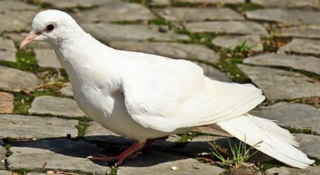 animal, white pigeon, wildlife, nature, animal, bird, feather, beak