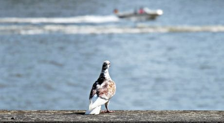 animal, water, beach, bird, sea, lake, nature, pigeon