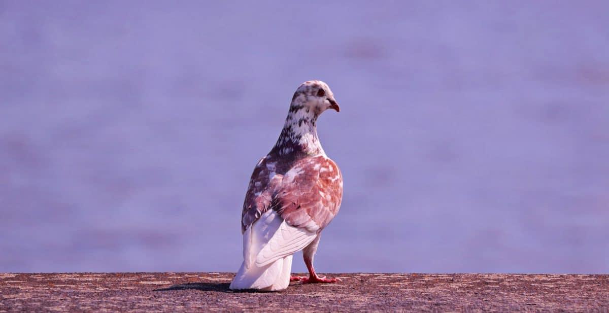 natura, animale, fauna, uccelli, piccione, becco, piuma, selvaggio