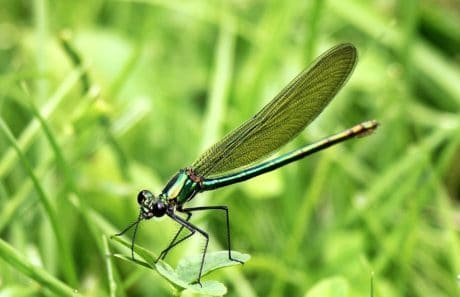 dragonfly, arthropod, insect, wildlife, nature, animal, green grass, outdoor