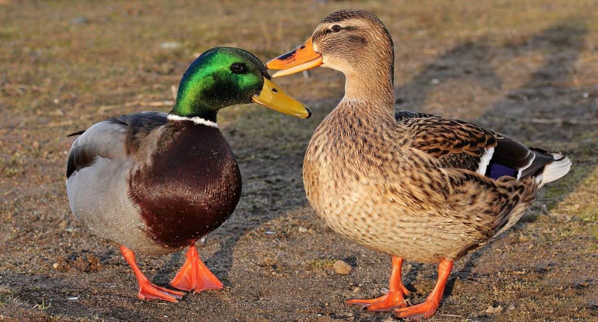 bird, wildlife, poultry, animal, wild duck, waterfowl, zoology