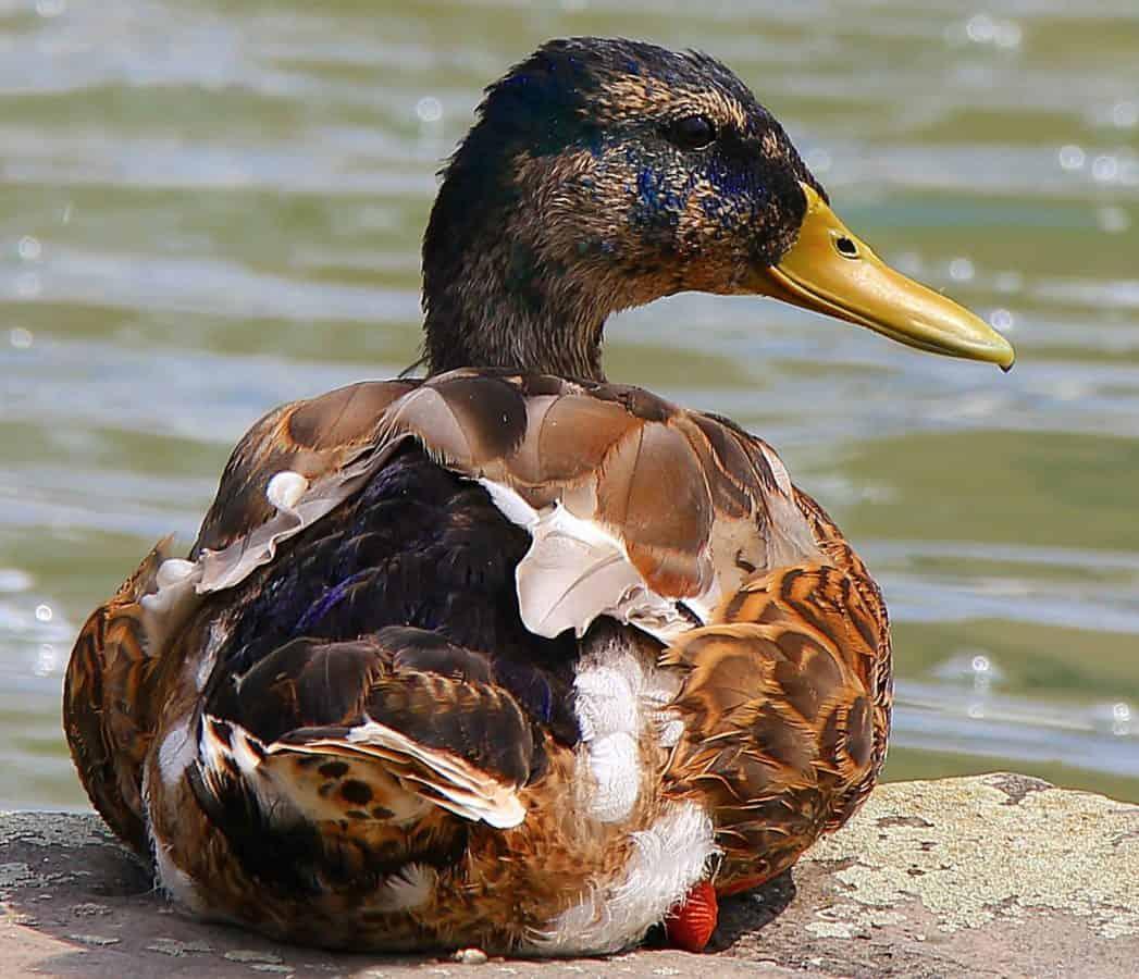 la faune, volaille, nature, oiseaux, sauvagine, canard sauvage, lac