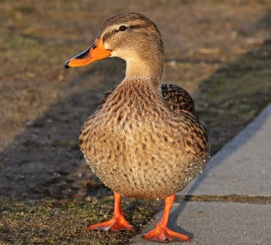 Duck, vandfugle, akvatiske fugl, dyreliv, skygge, natur