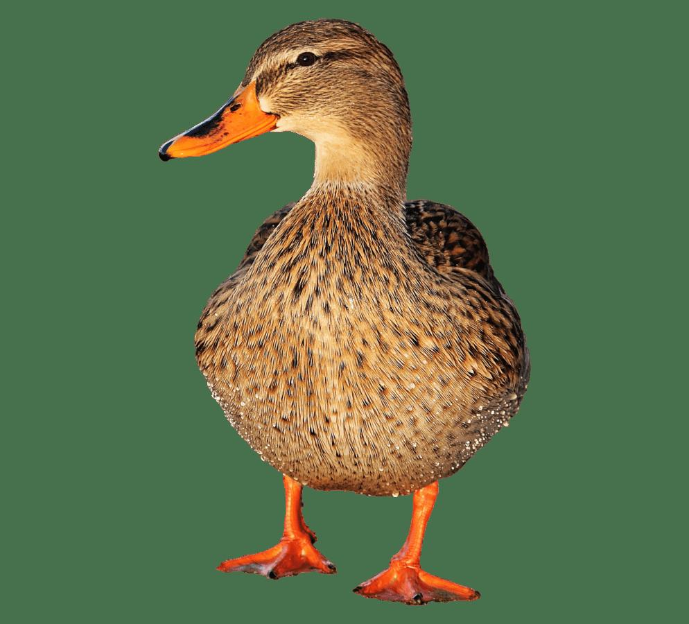 Fotomontage, Wasservögel, Ente, Wild, Vogel, Geflügel, Feder