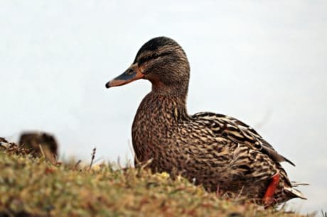 poultry, wild duck, bird, wildlife, grass, lake, ornitology
