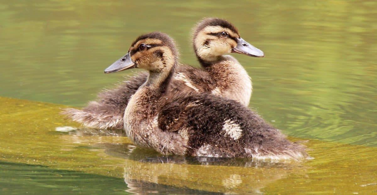 caneton, young, canard, la faune, oiseau, oiseaux d'eau, lac, eau