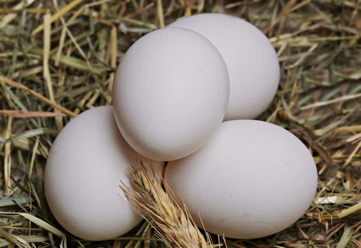 Natur, Eierschale, Nest, Shell, weißes Ei, Essen, Huhn, Stroh