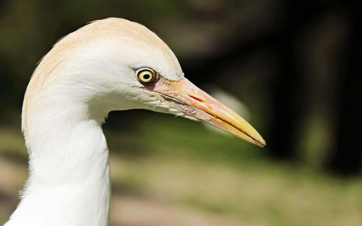 Weißer Reiher, Vogel, Tiere, Tier, Natur, Schnabel, Federn, wild