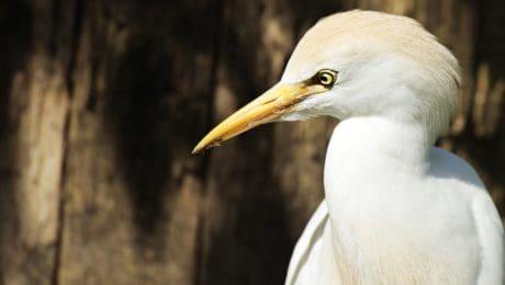 grand héron, animaux, nature, oiseau blanc, la faune, bec, plumes, plume, portrait