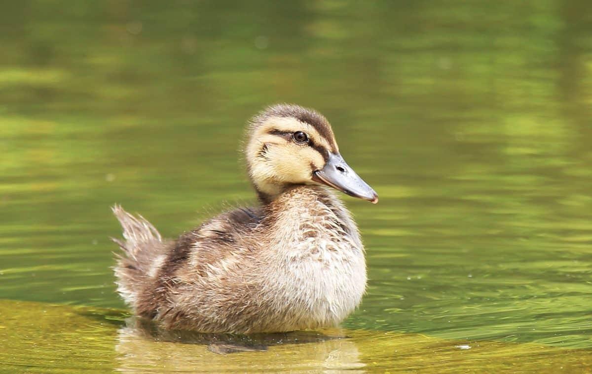 duckling, lake, waterfowl, nature, young, duck, wildlife, bird, water