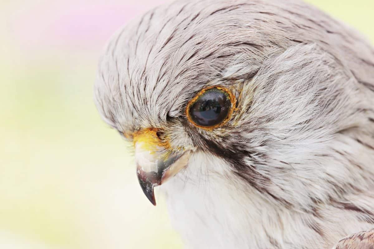 grey hawk, beak, eye, animal, bird, feather, wildlife, raptor