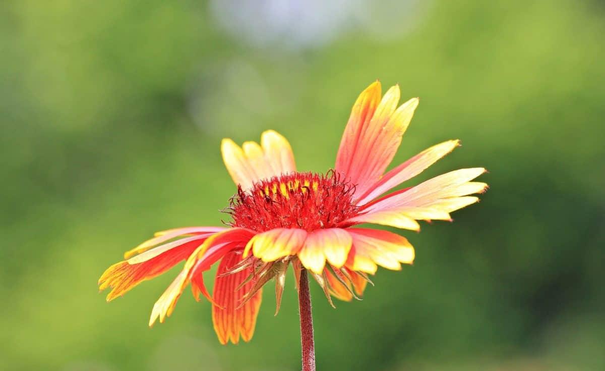 flor, al aire libre, horticultura, luz del día, pétalos, rojo, amarillo, polen, planta