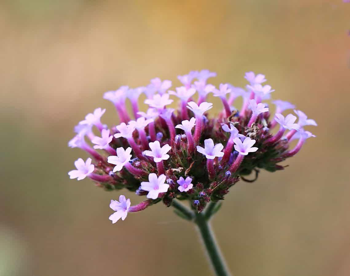 herb, plant, flower, pink, blossom, daylight, horticulture, petal