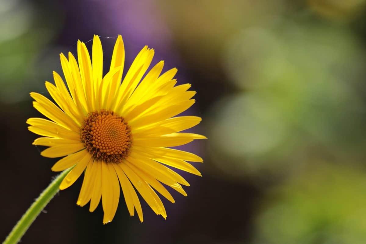 pianta, primavera, polline, flora, giallo, orticoltura, fiore, petali
