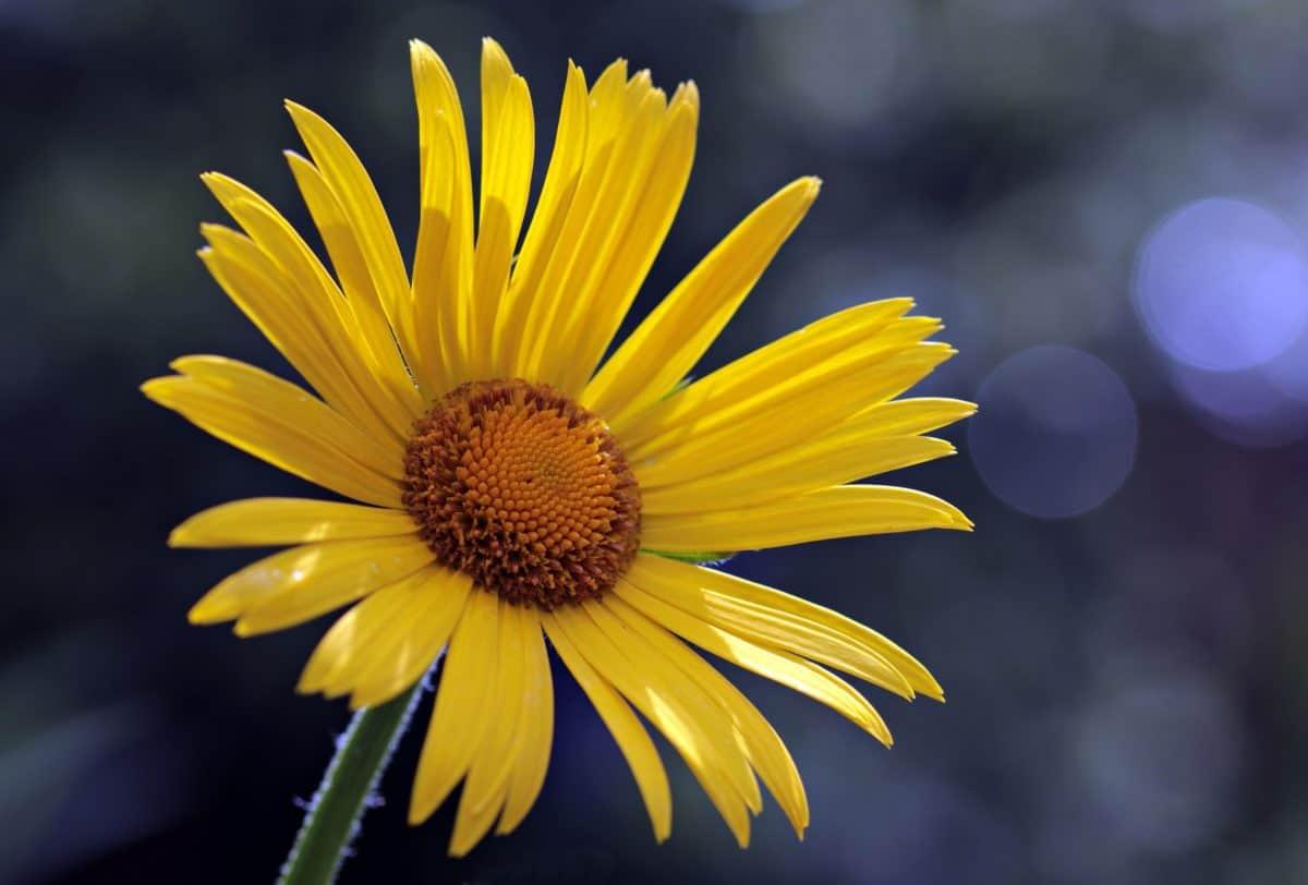 žltý kvet, detail, lupienok, závod, na jar, peľ