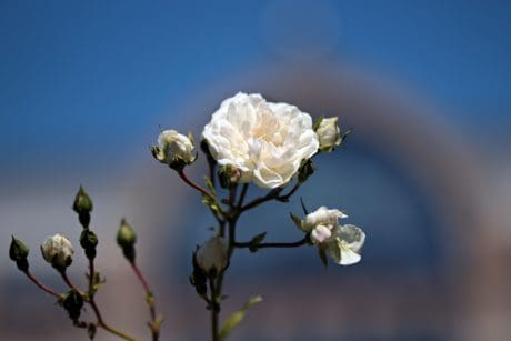 white rose, wild rose, blue sky, flower, plant, blossom, branch
