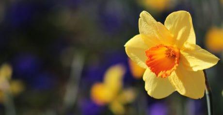 žltý narcis, leto, kvetina, závod, lupienok, Záhrada, kvet