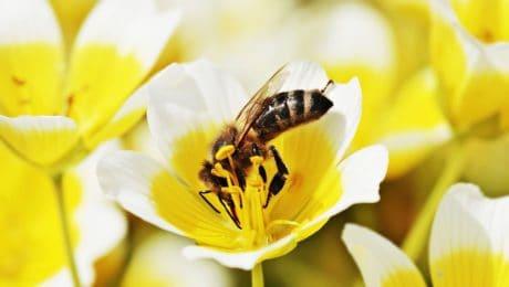 insekt, hornet, honning, kronblad, blomst, anlegg, pollen