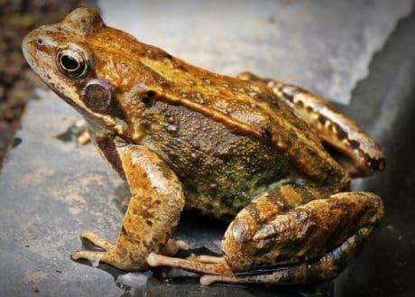 fauna selvatica, rana marrone, bagnato, liquido, anfibio, occhio, animali, terra