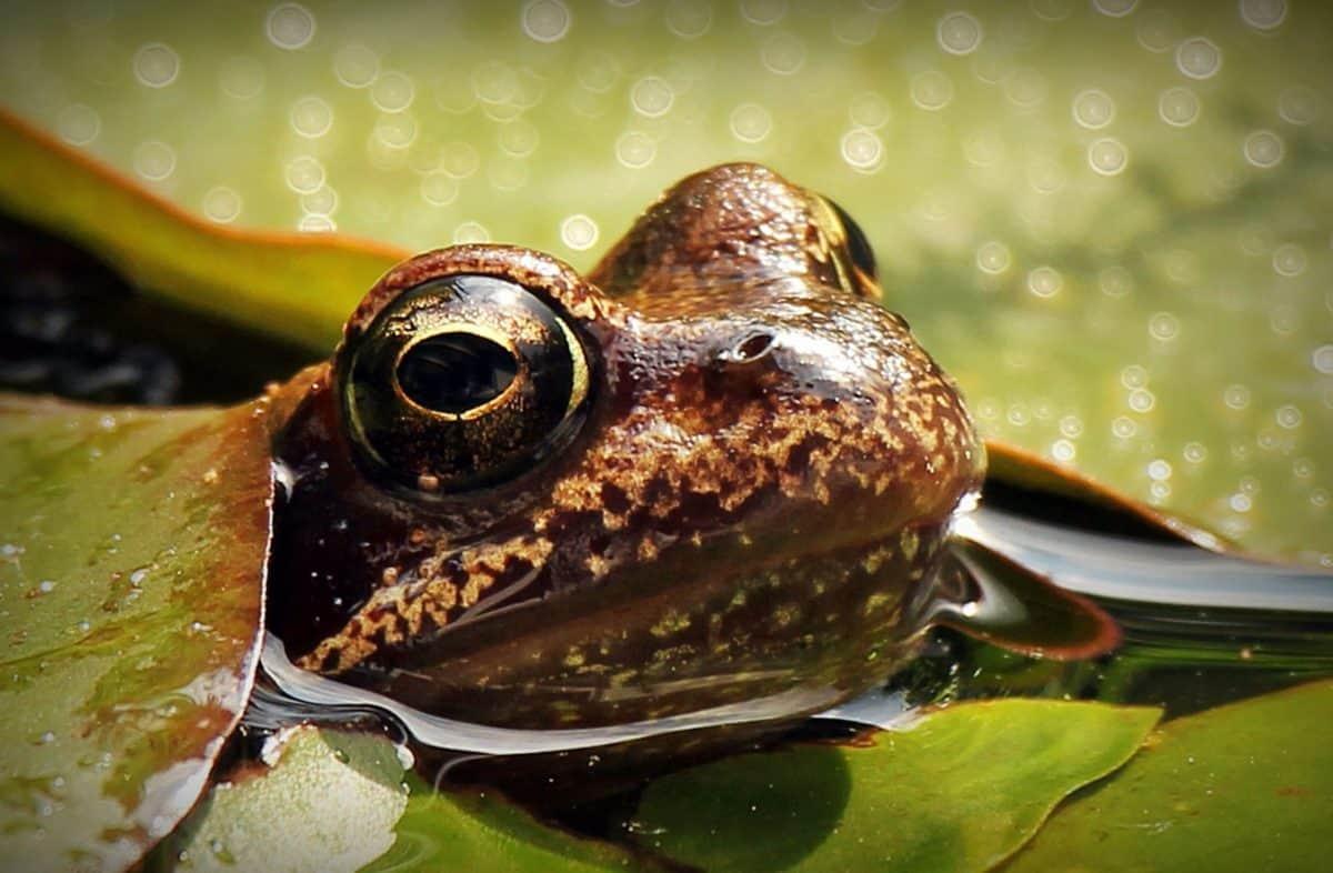青蛙, 水, 水百合, 动物, 莲花, 头, 眼睛, 叶子, 湿地