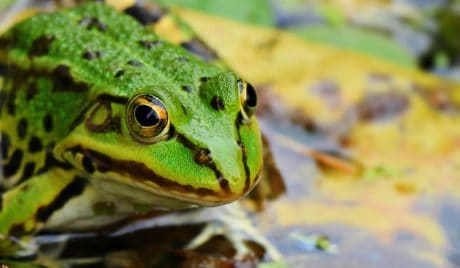 amphibian, swamp, wildlife, green frog, nature, eye, animal