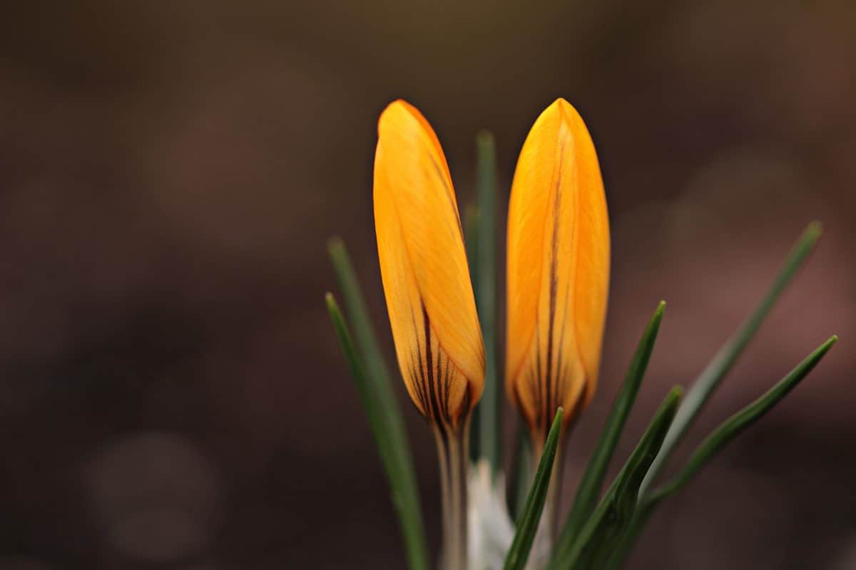 flower, petal, plant, garden, orange color, petal, green leaf