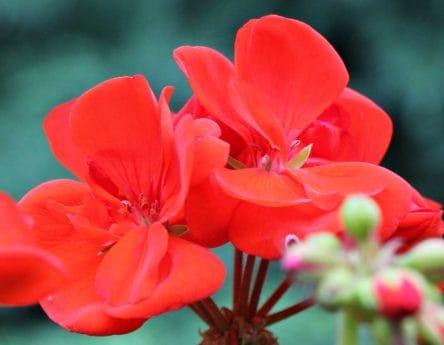 листа, природа, флора, венчелистче, червено цвете, лято, Градина