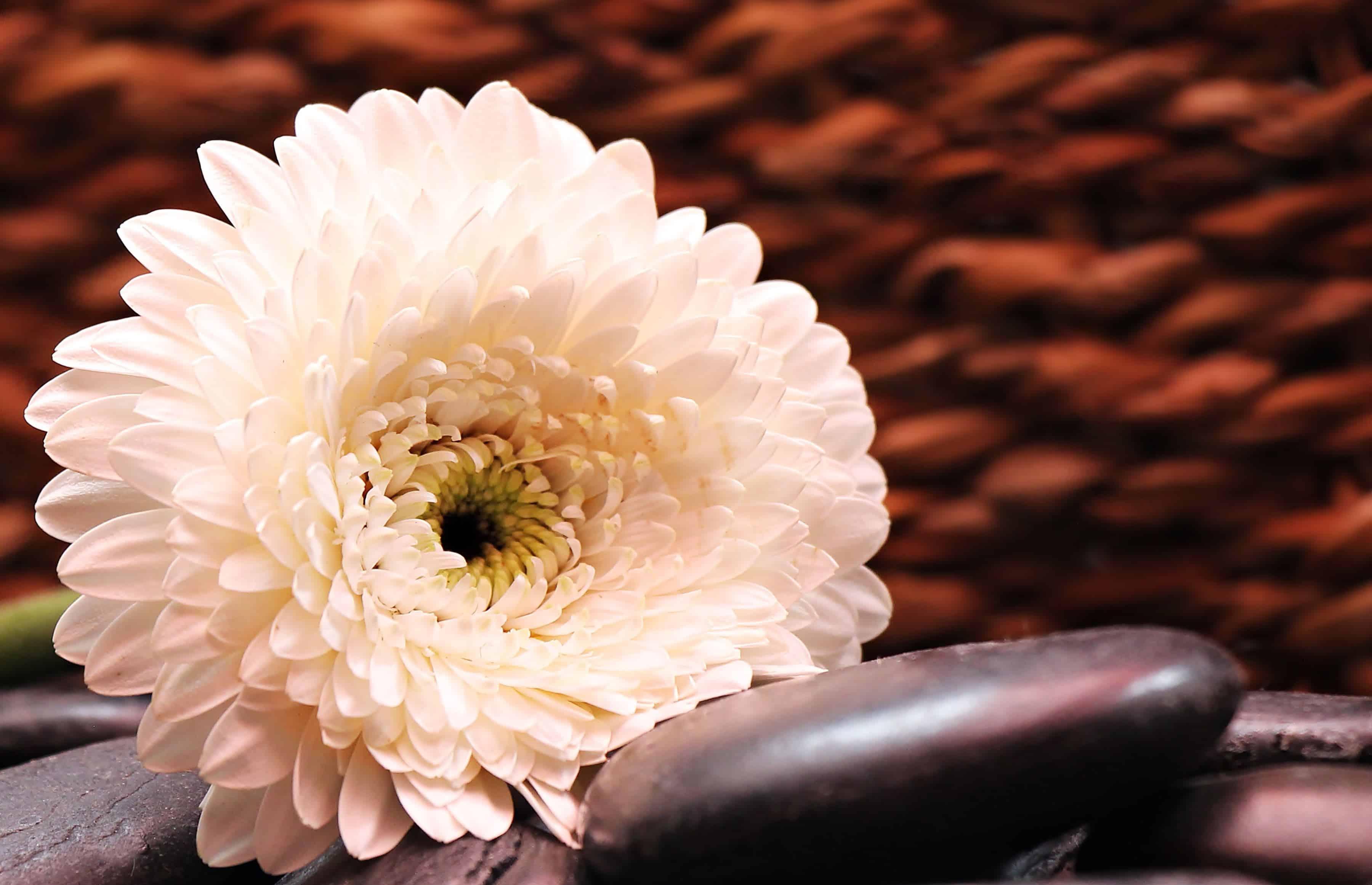 Image Libre Nature Fleur Rose Petale Nature Morte Decoration