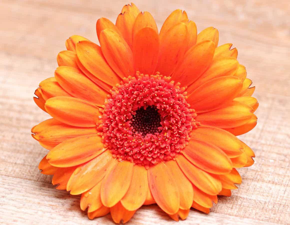 stilleben, kronblad, pollen, blomst, anlegg, våren, oransje