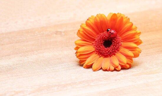 still life, decoration, orange color, nature, summer, flower, petal, blossom, bloom, plant, flora
