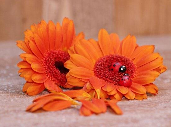still life, decoration, ladybug, orange color, flora, nature, flower, summer, petal, plant, blossom